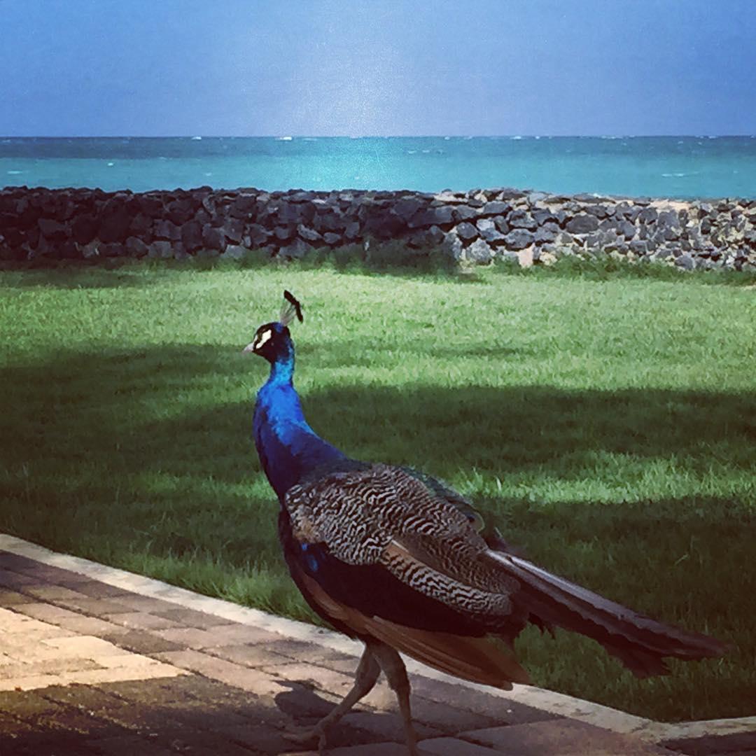 Puerto Rican Peacock